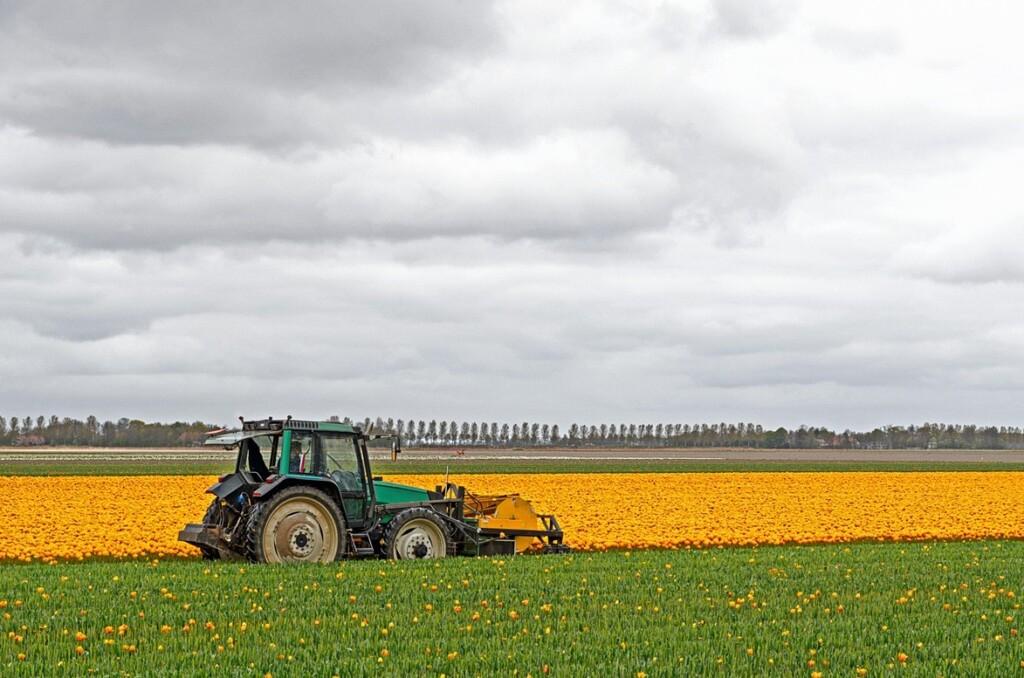 Maaimachine voor tulpen koppen op geel tulpenveld