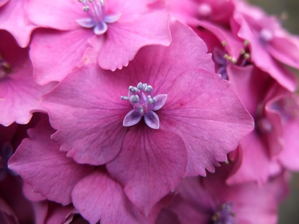 Bloeiende roze hortensia