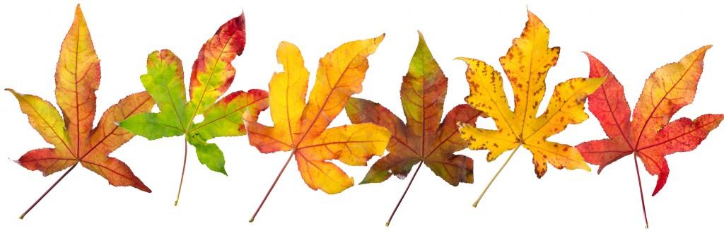 Prachtige herfstbladeren van een amberboom