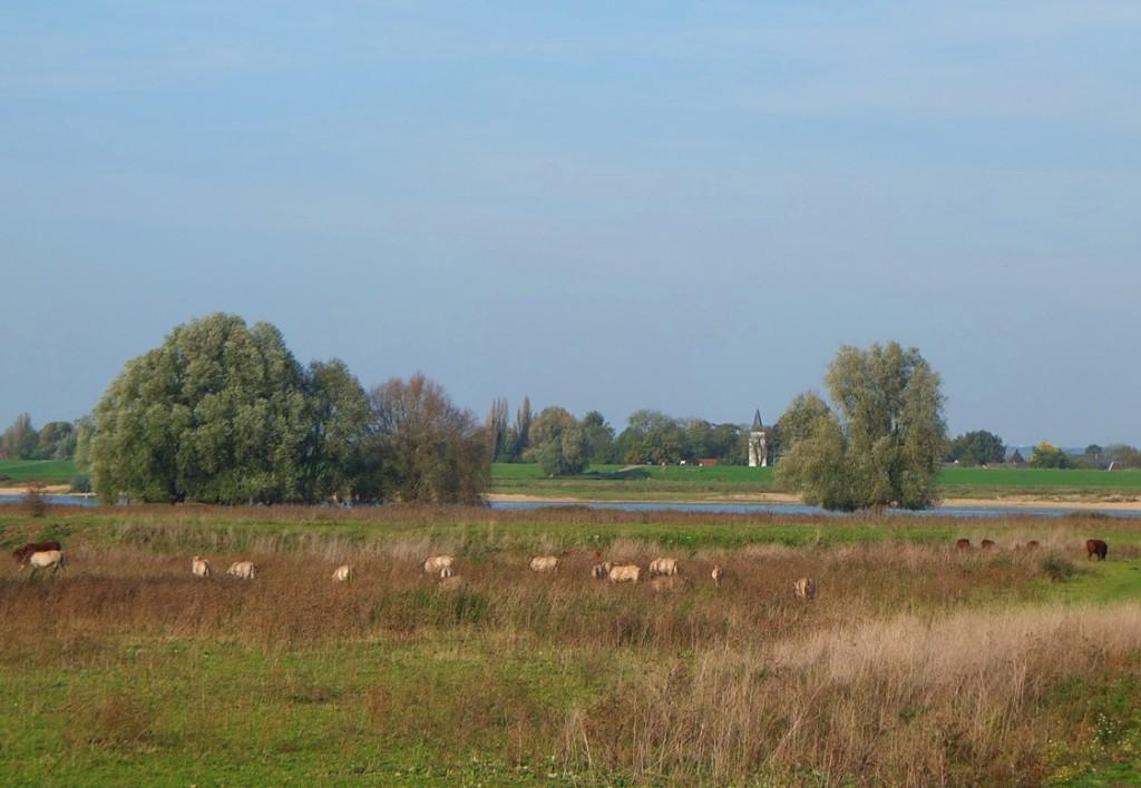Brandrode runderen en konikspaarden bij Staartjeswaard