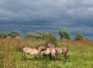 Drie konikspaarden in Staartjeswaard met donkere lucht