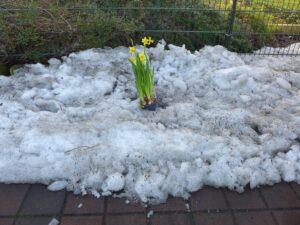 Potje Narcissen in sneeuw