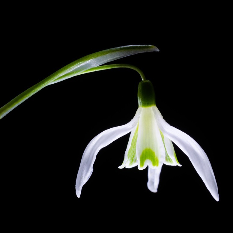 Snowdrop on a black background