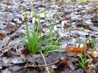 Sneeuwklokjes tussen oud blad