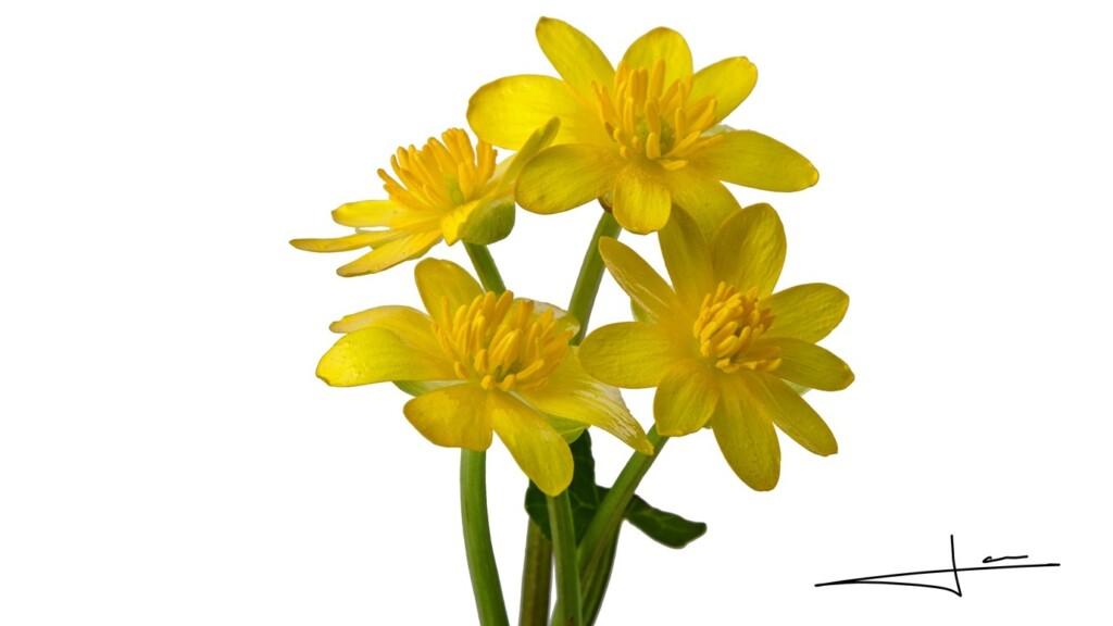 Vier speenkruid bloemetjes