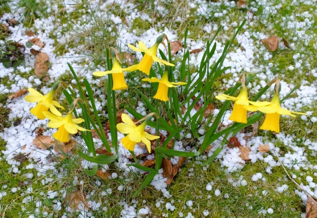 Narcissen in gras met hagel