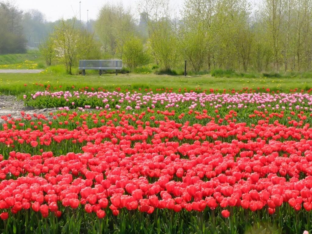 Rode-tulpen-in-Noordoost-Polder