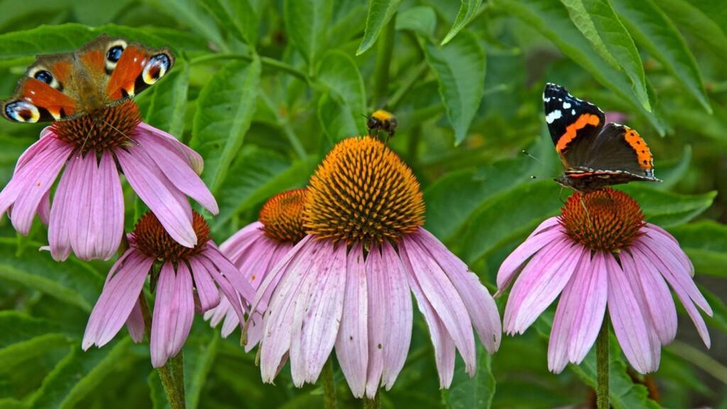 Vlinders op Echinacea
