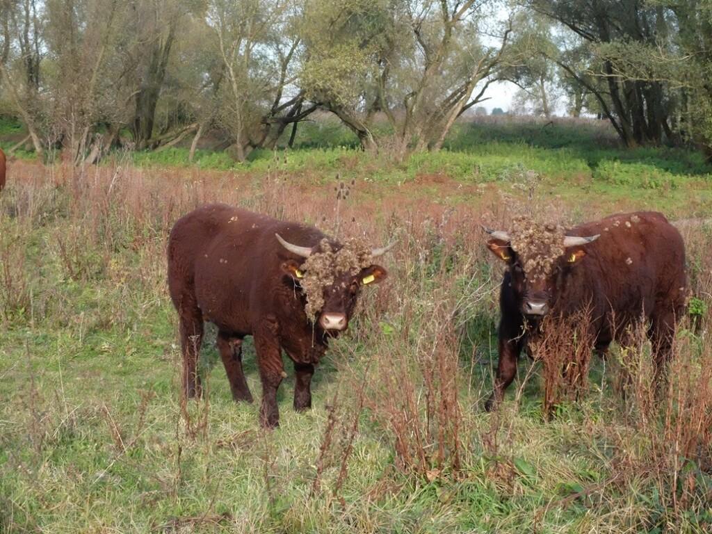 Brandrode runderen bij Beuningen