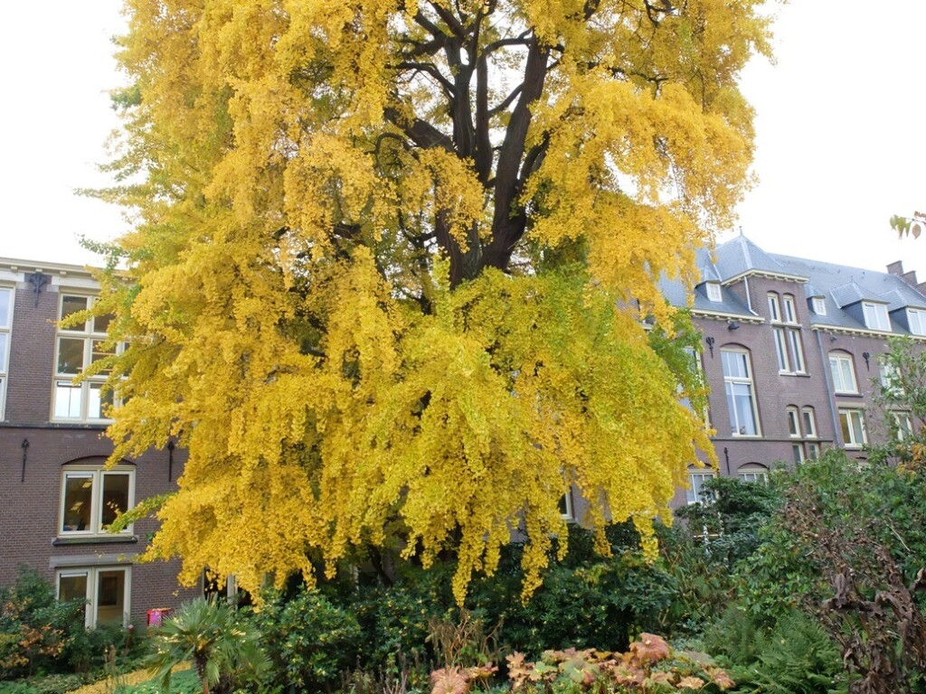 Ginkho Biloba in Botanische tuin Utrecht
