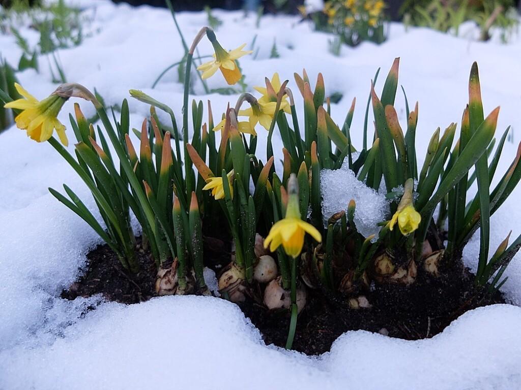 Narcisjes in sneeuw