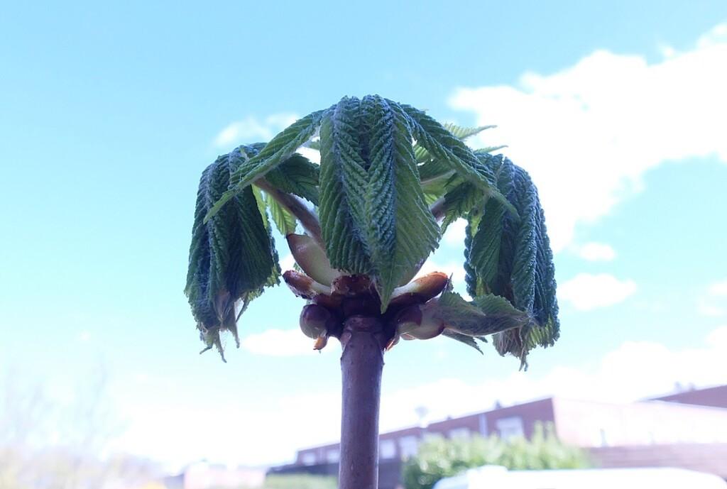 Ontvouwend kastanjeblad