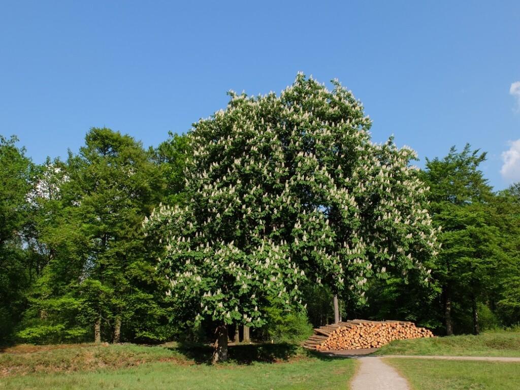 Bloeiende kastanjeboom