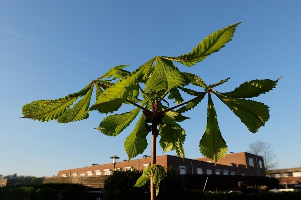 Dansende bladeren van kastanjeboom