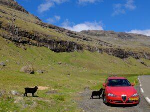 Auto met schapen op Faroër Island