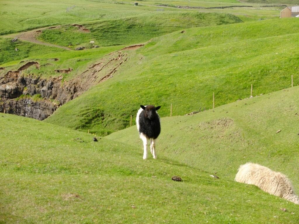 Schaap op Faroër Island