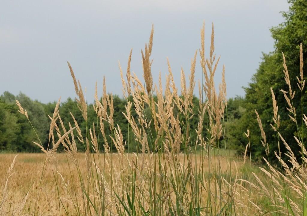 opschietend gras