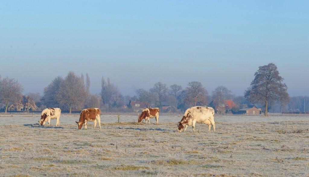Koeien bij vorst